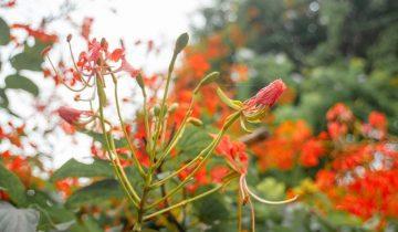 Du lịch Huế ngắm phượng rừng nở đỏ thắm