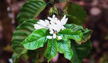 Tây Nguyên mùa hoa cafe khoe sắc