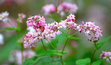 Gây thương nhớ hoa Tam giác mạch Hà Giang